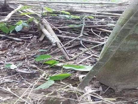 সামাজিক বনায়নের বন উজাড় করে পান চাষ